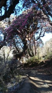 Rhododendron Forest Poon Hill Nepal