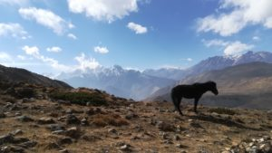 Mustang horse Annapurna circuit